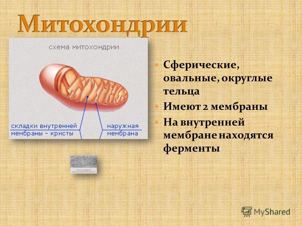 Сферические, овальные, округлые тельца Имеют 2 мембраны На внутренней мембране находятся ферменты