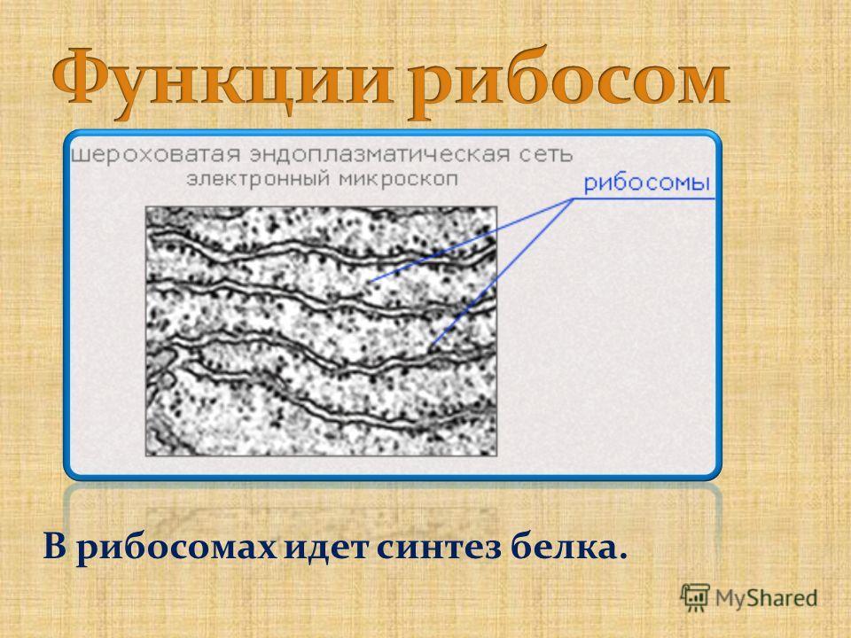 В рибосомах идет синтез белка.