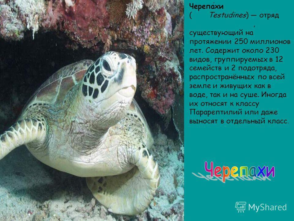 Черепахи (лат. Testudines) отряд пресмыкающихся, существующий на протяжении 250 миллионов лет. Содержит около 230 видов, группируемых в 12 семейств и 2 подотряда, распространённых по всей земле и живущих как в воде, так и на суше. Иногда их относят к