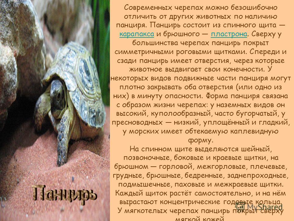 Современных черепах можно безошибочно отличить от других животных по наличию панциря. Панцирь состоит из спинного щита карапакса и брюшного пластрона. Сверху у большинства черепах панцирь покрыт симметричными роговыми щитками. Спереди и сзади панцирь