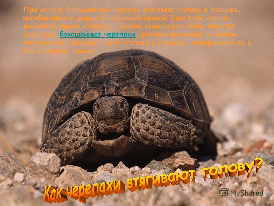 При испуге большинство черепах втягивает голову в панцирь, изгибая шею в форме S-образной кривой (при этом голова двигается прямо и назад). Однако существуют виды черепах (подотряд бокошейные черепахи, распространенные в южном полушарии), которые пря