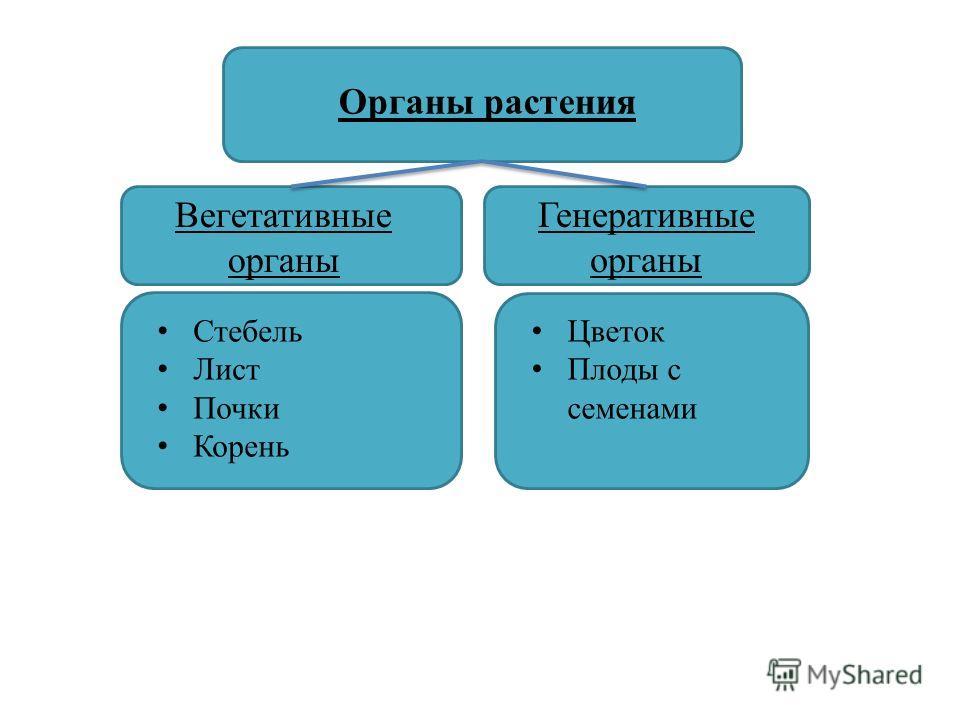 Органы растения Цветок Плоды с семенами Генеративные органы Вегетативные органы Стебель Лист Почки Корень
