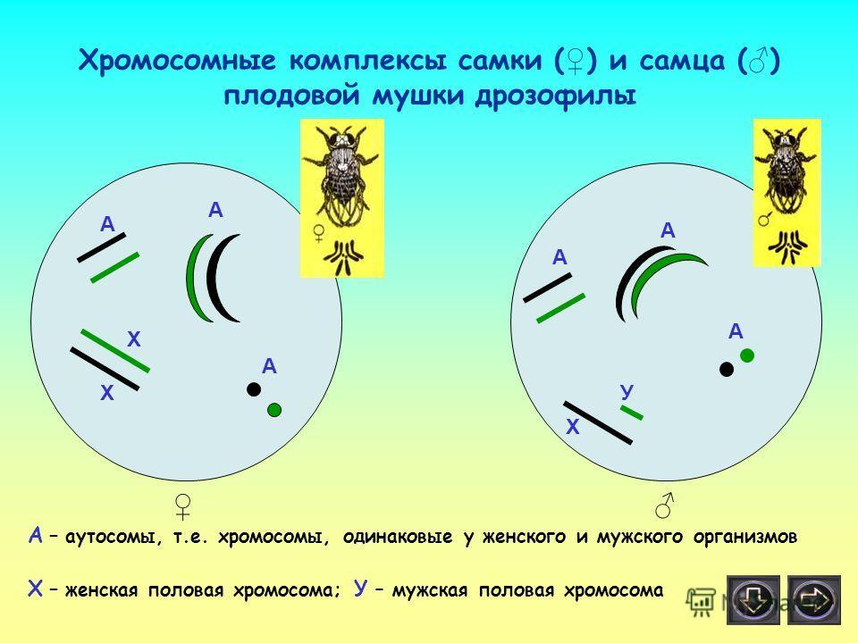 А А А А А А Х Х Х У Хромосомные комплексы самки ( ) и самца ( ) плодовой мушки дрозофилы А – аутосомы, т.е. хромосомы, одинаковые у женского и мужского организмов Х – женская половая хромосома; У – мужская половая хромосома