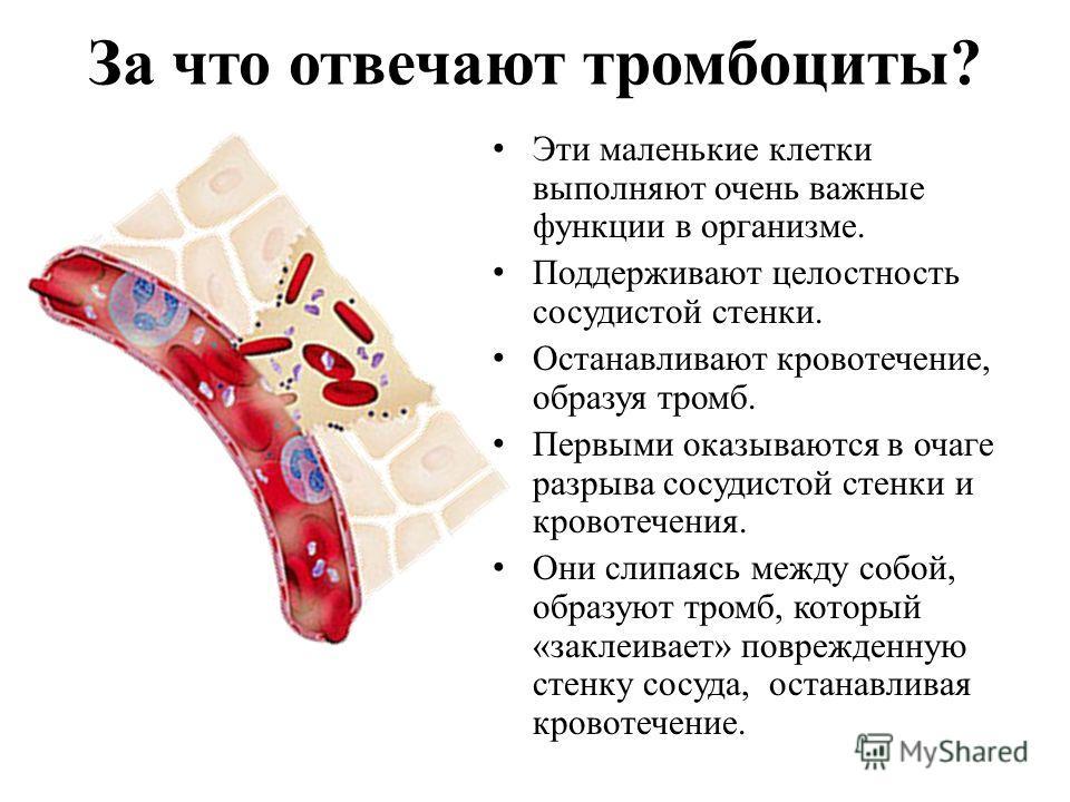 За что отвечают тромбоциты? Эти маленькие клетки выполняют очень важные функции в организме. Поддерживают целостность сосудистой стенки. Останавливают кровотечение, образуя тромб. Первыми оказываются в очаге разрыва сосудистой стенки и кровотечения.