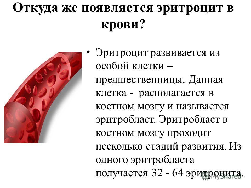 Эритробласт фото