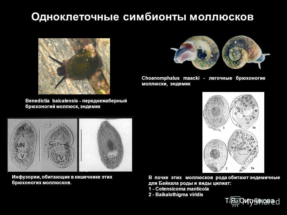 Инфузории, обитающие в кишечнике этих брюхоногих моллюсков. В почке этих моллюсков рода обитают эндемичные для Байкала роды и виды целибат: 1 - Cotensicoma manticola 2 - Baikalothigma viridis Одноклеточные симбионты моллюсков Choanomphalus maacki - л