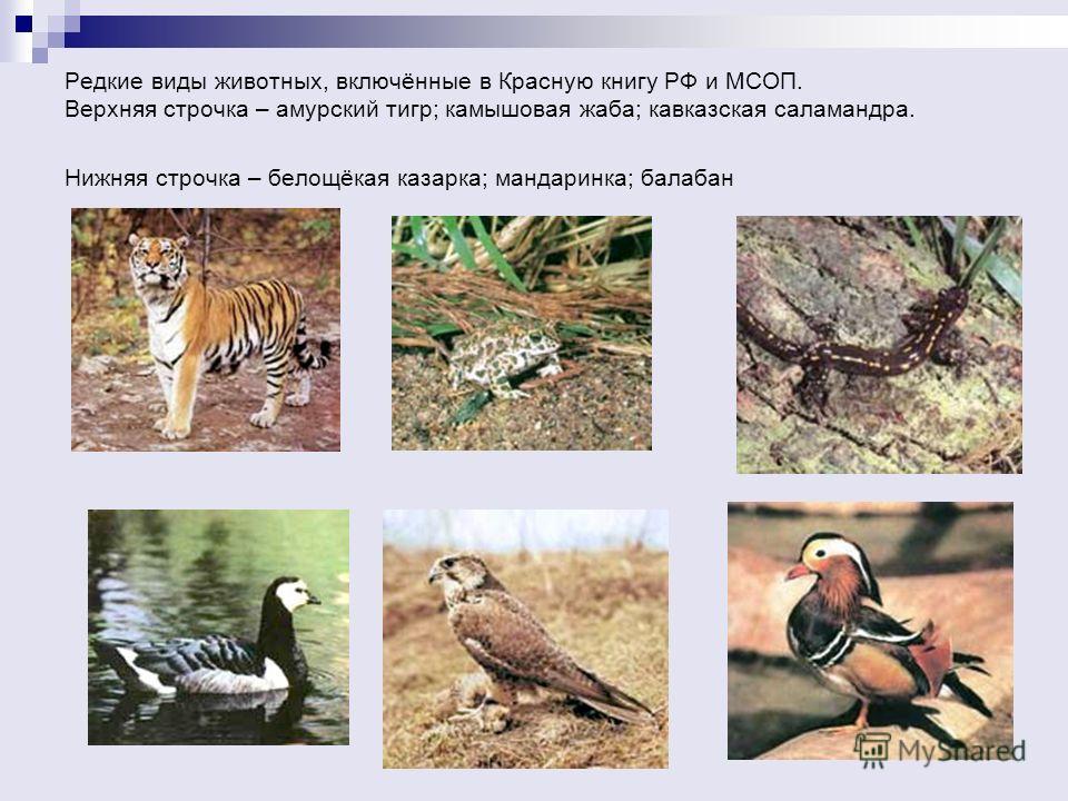 Редкие виды животных, включённые в Красную книгу РФ и МСОП. Верхняя строчка – амурский тигр; камышовая жаба; кавказская саламандра. Нижняя строчка – белощёкая казарка; мандаринка; балабан