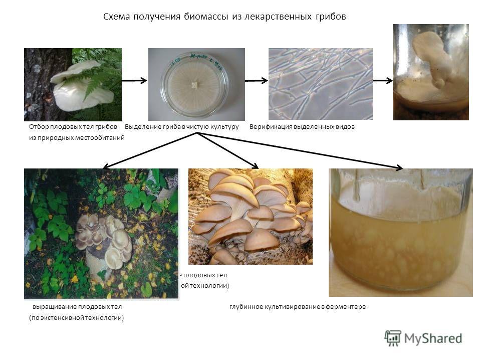 Схема получения биомассы из лекарственных грибов Отбор плодовых тел грибов Выделение гриба в чистую культуру Верификация выделенных видов из природных местообитаний выращивание плодовых тел (по интенсивной технологии) выращивание плодовых тел глубинн