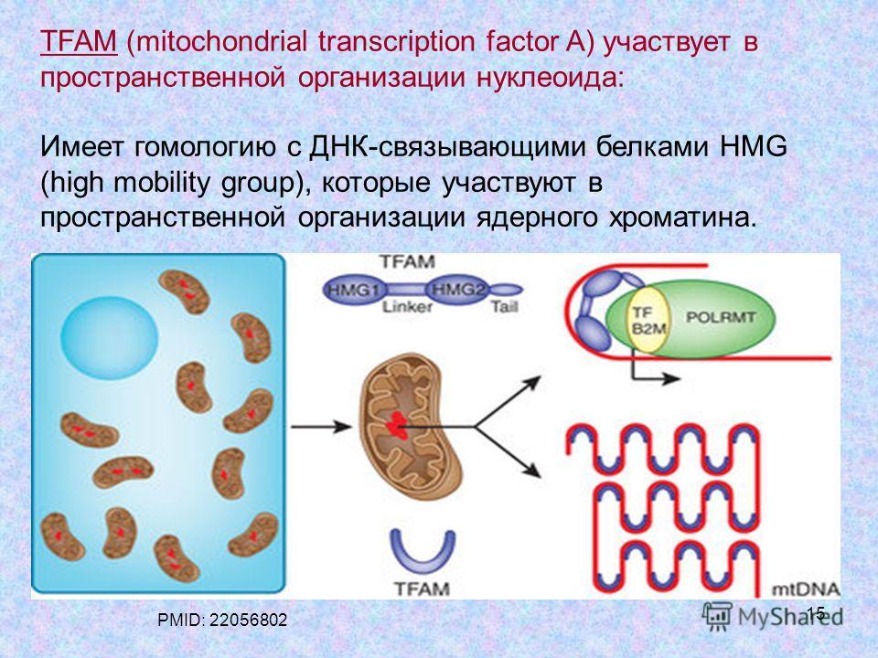 15 TFAM (mitochondrial transcription factor A) участвует в пространственной организации нуклеоида: Имеет гомологию с ДНК-связывающими белками HMG (high mobility group), которые участвуют в пространственной организации ядерного хроматина. PMID: 220568