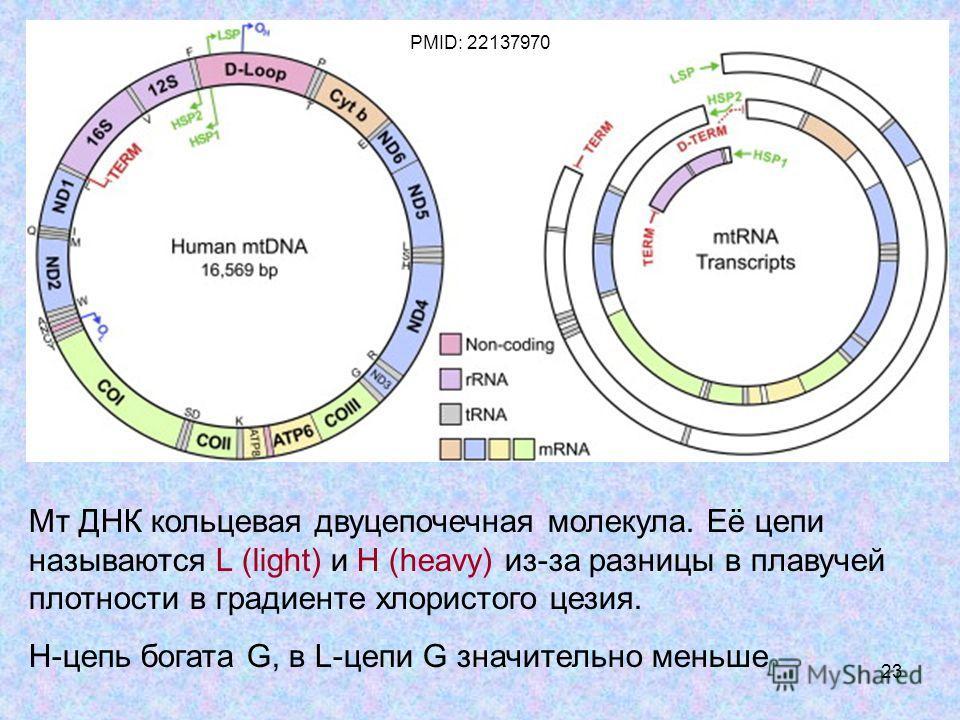 23 Мт ДНК кольцевая двухцепочечная молекула. Её цепи называются L (light) и H (heavy) из-за разницы в плавучей плотности в градиенте хлористого цезия. Н-цепь богата G, в L-цепи G значительно меньше PMID: 22137970