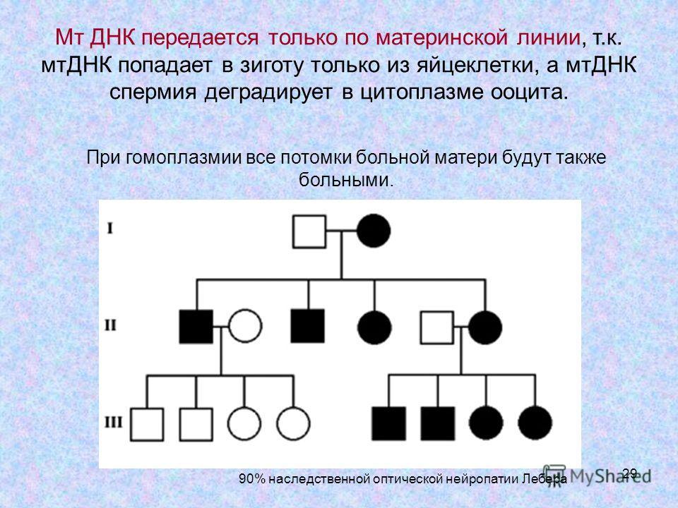 29 При гомоплазмии все потомки больной матери будут также больными. 90% наследственной оптической нейропатии Лебера Мт ДНК передается только по материнской линии, т.к. мтДНК попадает в зиготу только из яйцеклетки, а мтДНК спермия деградирует в цитопл