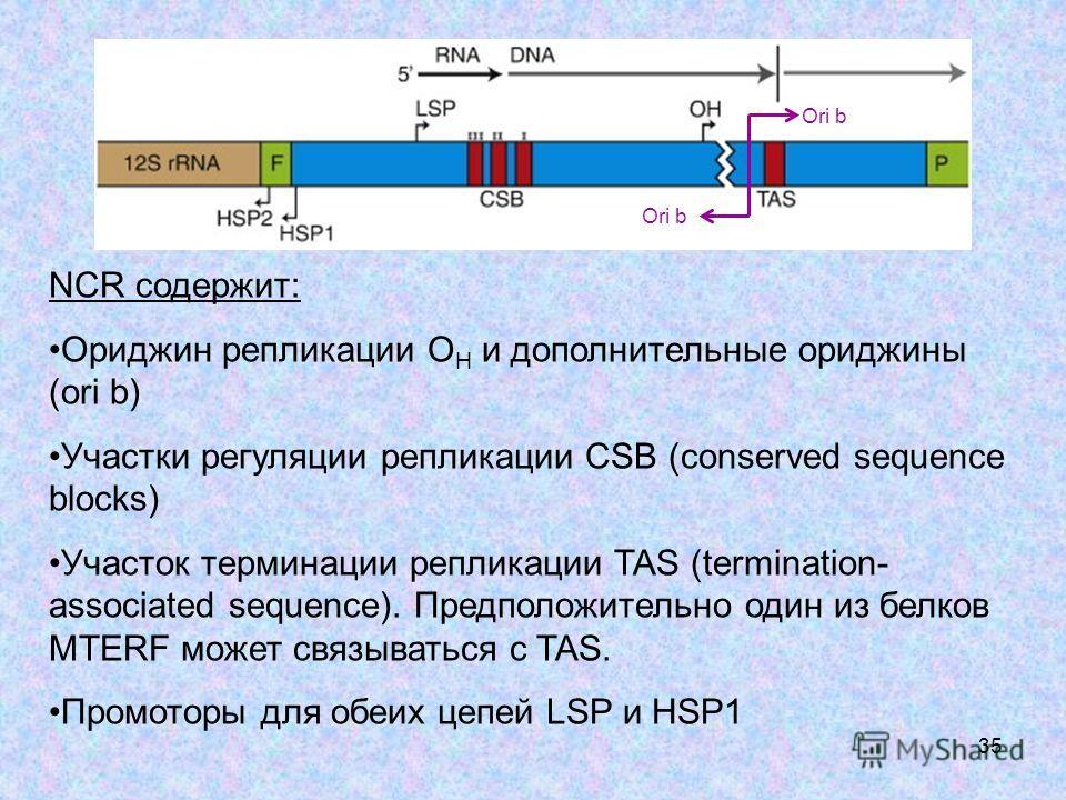 35 NCR содержит: Ориджин репликации O H и дополнительные ориджины (ori b) Участки регуляции репликации CSB (conserved sequence blocks) Участок терминации репликации TAS (termination- associated sequence). Предположительно один из белков MTERF может с