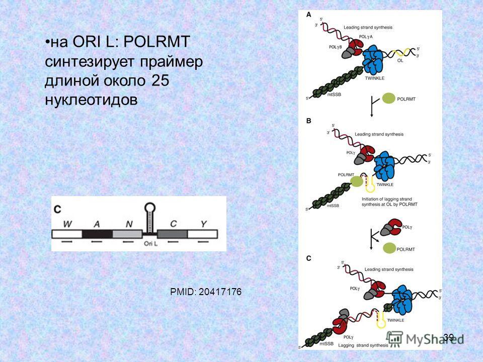 39 на ORI L: POLRMT синтезирует праймер длиной около 25 нуклеотидов PMID: 20417176