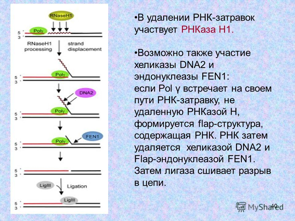40 В удалении РНК-затравок участвует РНКаза Н1. Возможно также участие хеликазы DNA2 и эндонуклеазы FEN1: если Pol γ встречает на своем пути РНК-затравку, не удаленную РНКазой Н, формируется flap-структура, содержащая РНК. РНК затем удаляется хеликаз