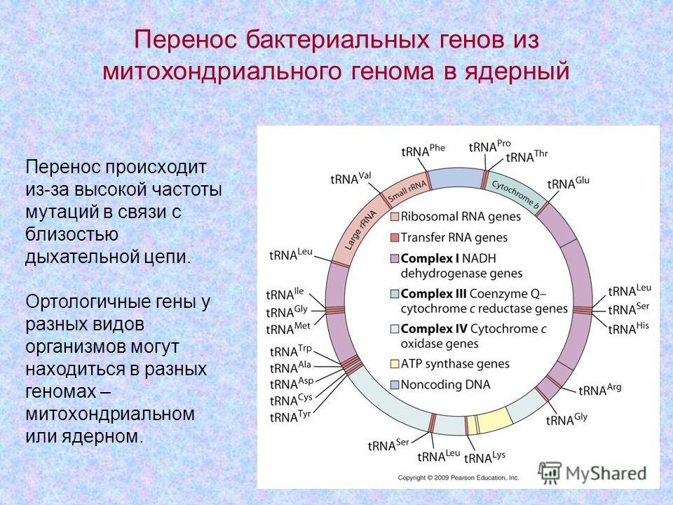 8 Перенос происходит из-за высокой частоты мутаций в связи с близостью дыхательной цепи. Ортологичные гены у разных видов организмов могут находиться в разных геномах – митохондриальном или ядерном. Перенос бактериальных генов из митохондриального ге