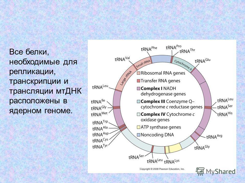 9 Все белки, необходимые для репликации, транскрипции и трансляции мтДНК расположены в ядерном геноме.