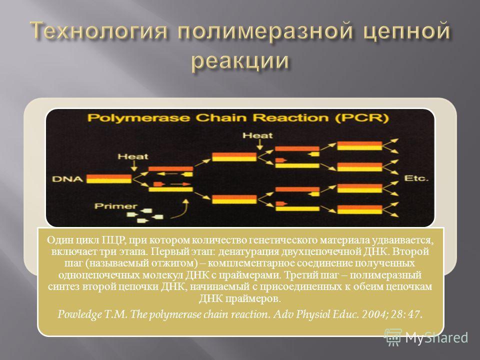 Один цикл ПЦР, при котором количество генетического материала удваивается, включает три этапа. Первый этап: денатурация двухцепочечной ДНК. Второй шаг (называемый отжигом) – комплементарное соединение полученных одноцепочечных молекул ДНК с праймерам
