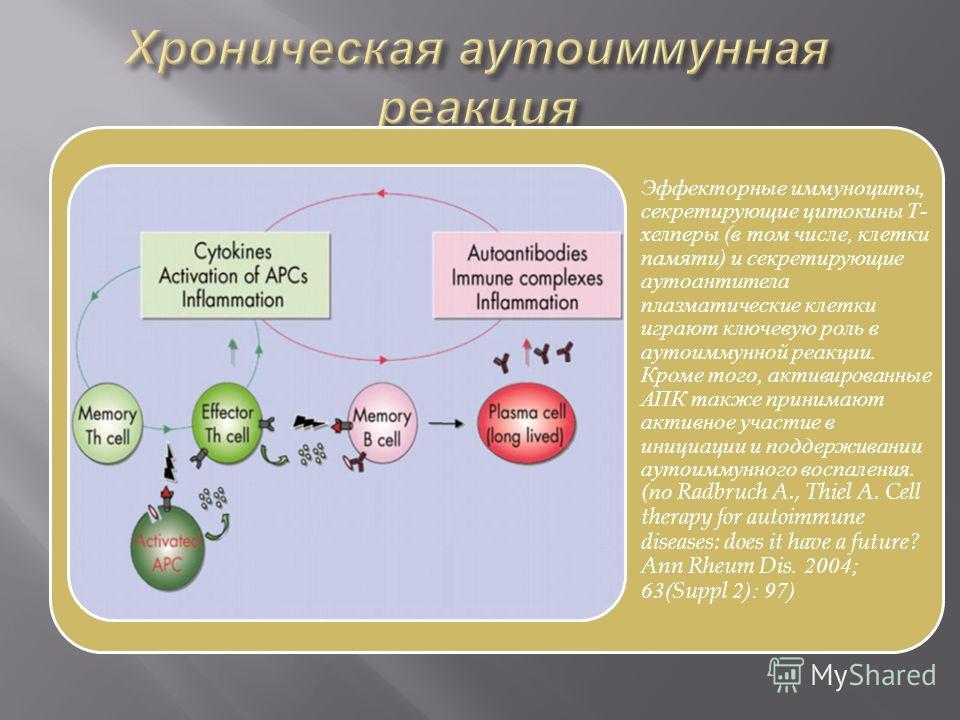 Эффекторные иммуноциты, секретирующие цитокины Т- хелперы (в том числе, клетки памяти) и секретирующие аутоантитела плазматические клетки играют ключевую роль в аутоиммунной реакции. Кроме того, активированные АПК также принимают активное участие в и