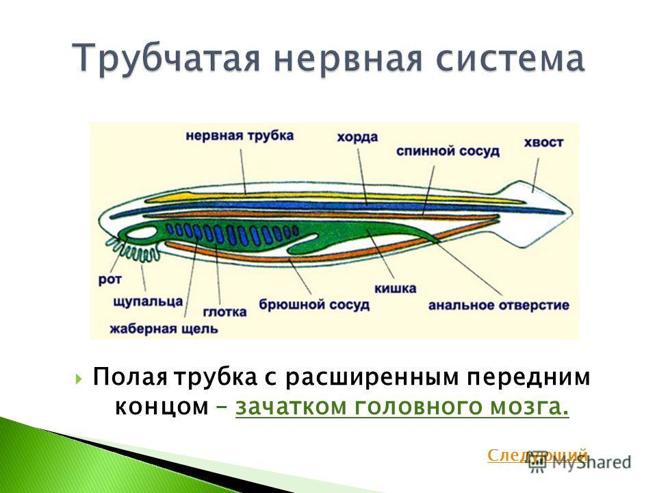 Полая трубка с расширенным передним концом – зачатком головного мозга. Следующий