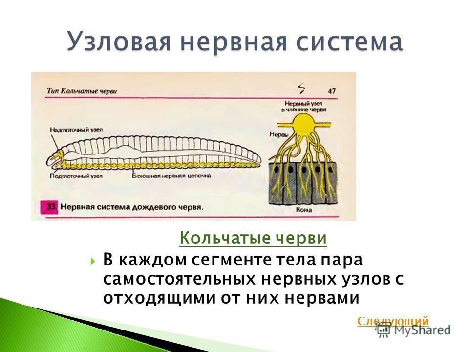 Кольчатые черви В каждом сегменте тела пара самостоятельных нервных узлов с отходящими от них нервами Следующий