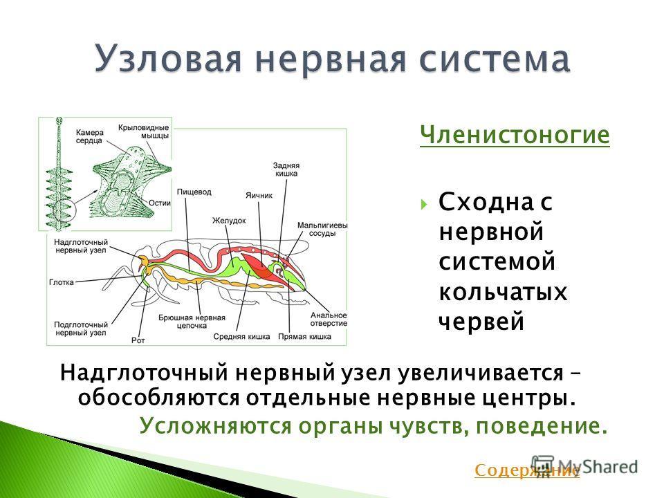 Членистоногие Сходна с нервной системой кольчатых червей Надглоточный нервный узел увеличивается – обособляются отдельные нервные центры. Усложняются органы чувств, поведение. Содержание