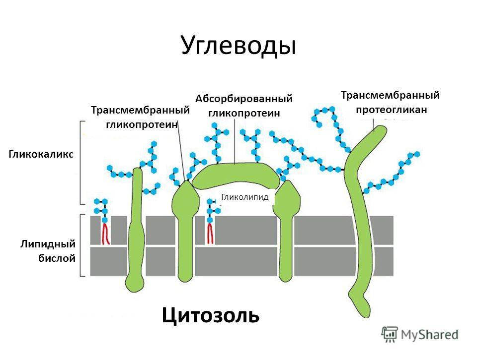Углеводы Гликокаликс Липидный бислой Цитозоль Трансмембранный протеогликан Абсорбированный гликопротеин Трансмембранный гликопротеин Гликолипид