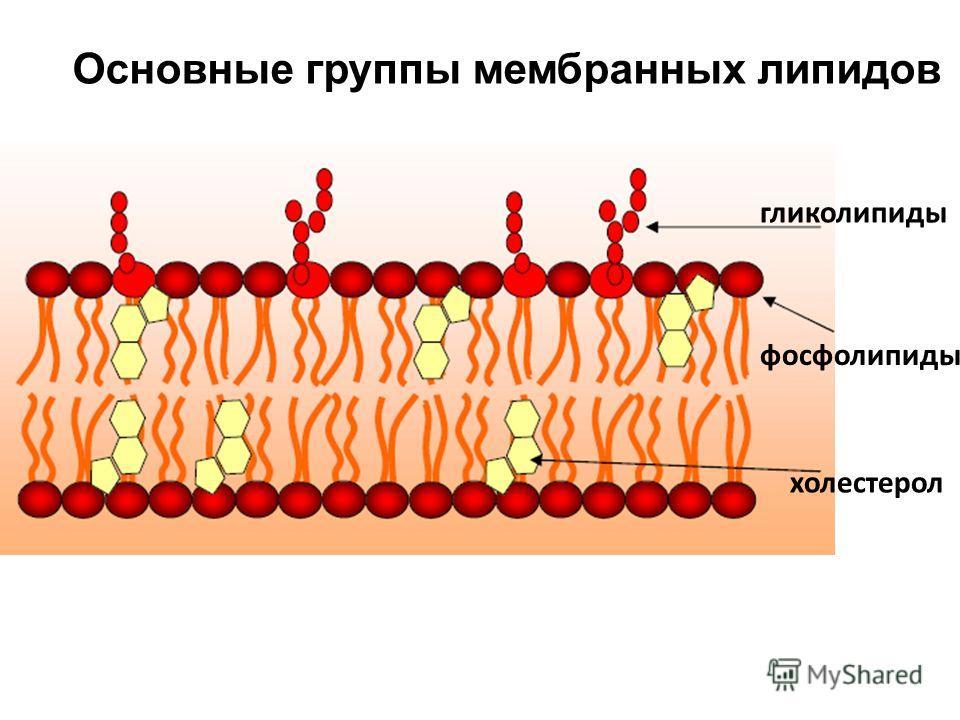 гликолипиды фосфолипиды холестерол Основные группы мембранных липидов