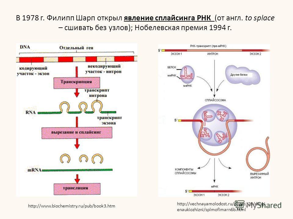В 1978 г. Филипп Шарп открыл явление сплайсинга РНК (от англ. to splace – сшивать без узлов); Нобелевская премия 1994 г. http://vechnayamolodost.ru/pages_29/drugi enaukiozhizni/splmofimarn6b.html http://www.biochemistry.ru/pub/book3.htm