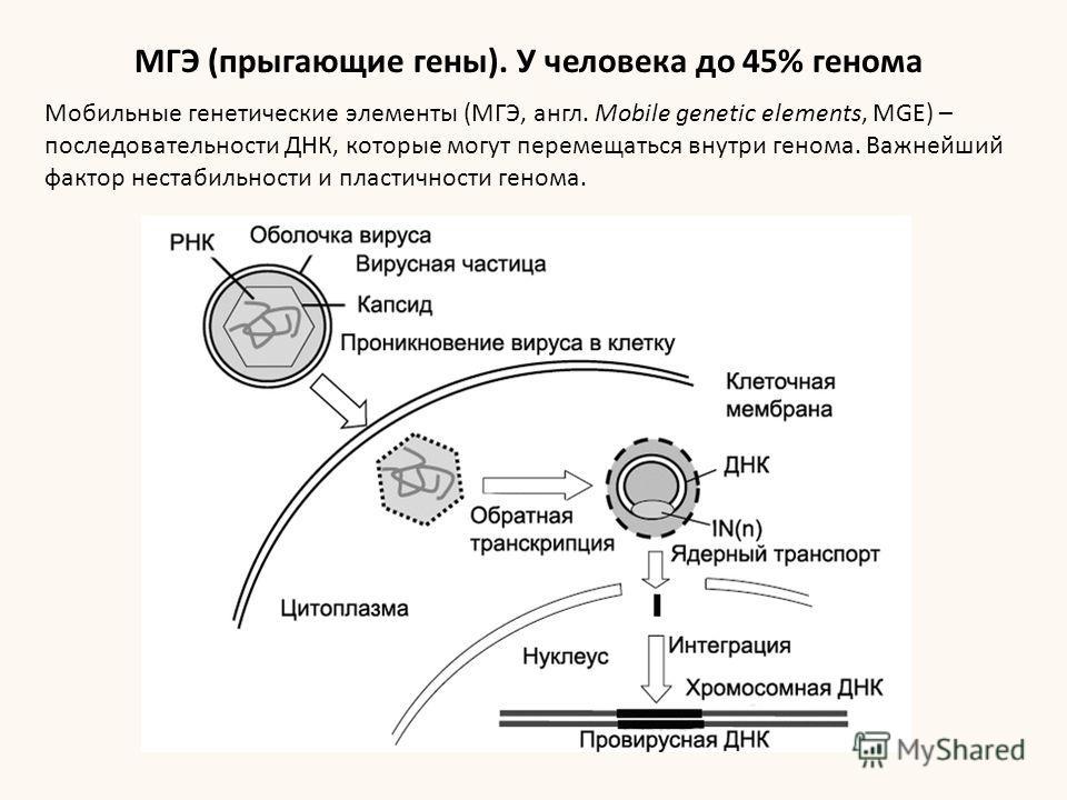 Мобильные генетические элементы (МГЭ, англ. Mobile genetic elements, MGE) – последовательности ДНК, которые могут перемещаться внутри генома. Важнейший фактор нестабильности и пластичности генома. МГЭ (прыгающие гены). У человека до 45% генома