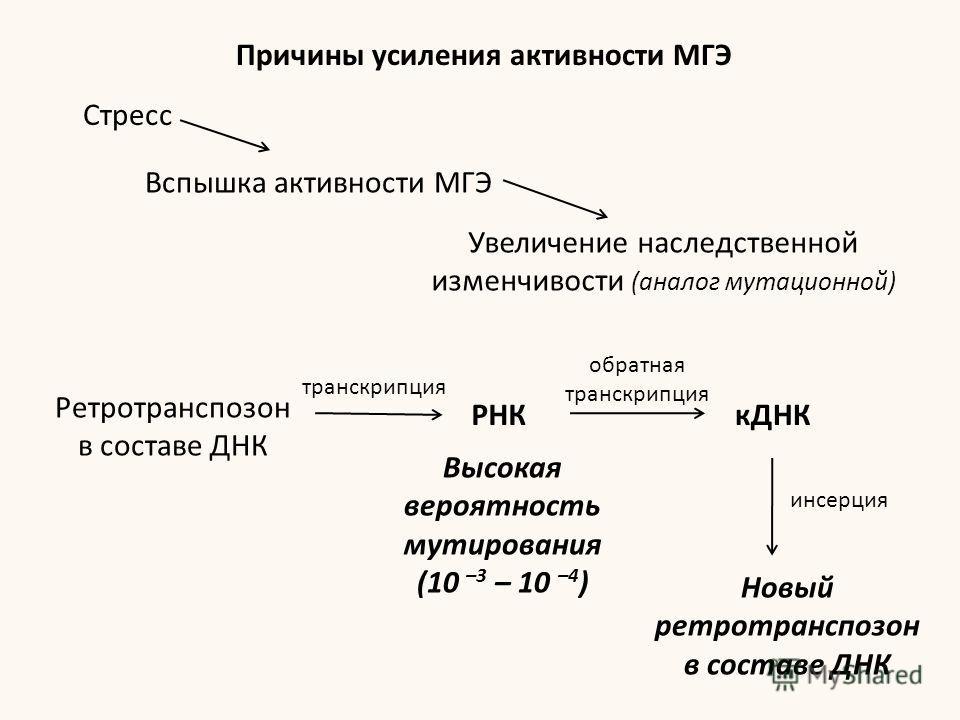 Причины усиления активности МГЭ Стресс Вспышка активности МГЭ Увеличение наследственной изменчивости (аналог мутационной) Ретротранспозон в составе ДНК РНКкДНК Высокая вероятность мутирования (10 –3 – 10 –4 ) Новый ретротранспозон в составе ДНК транс