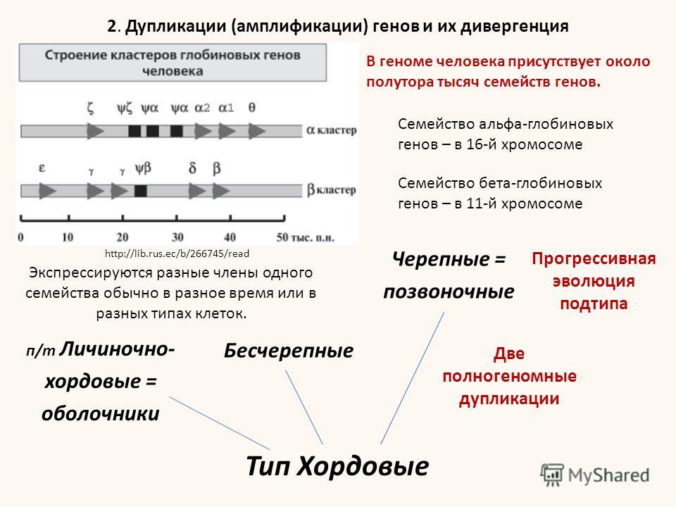 Тип Хордовые Черепные = позвоночные Бесчерепные п/т Личиночно- хордовые = оболочники Две полногеномные дупликации Прогрессивная эволюция подтипа 2. Дупликации (амплификации) генов и их дивергенция В геноме человека присутствует около полутора тысяч с
