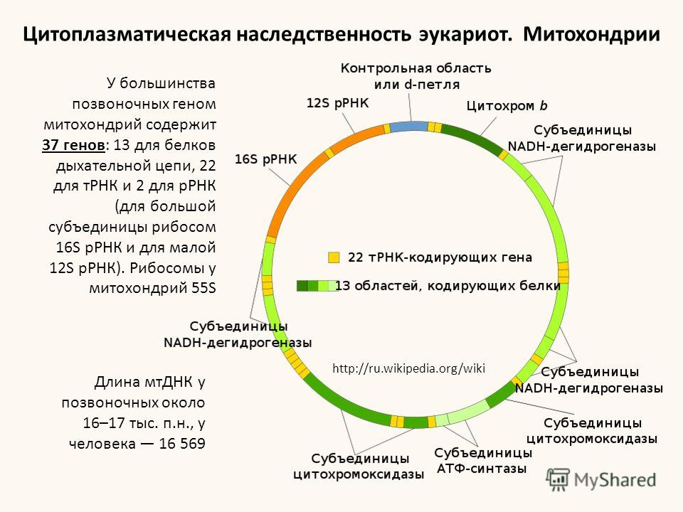 Цитоплазматическая наследственность эукариот. Митохондрии http://ru.wikipedia.org/wiki У большинства позвоночных геном митохондрий содержит 37 генов: 13 для белков дыхательной цепи, 22 для тРНК и 2 для рРНК (для большой субъединицы рибосом 16S рРНК и