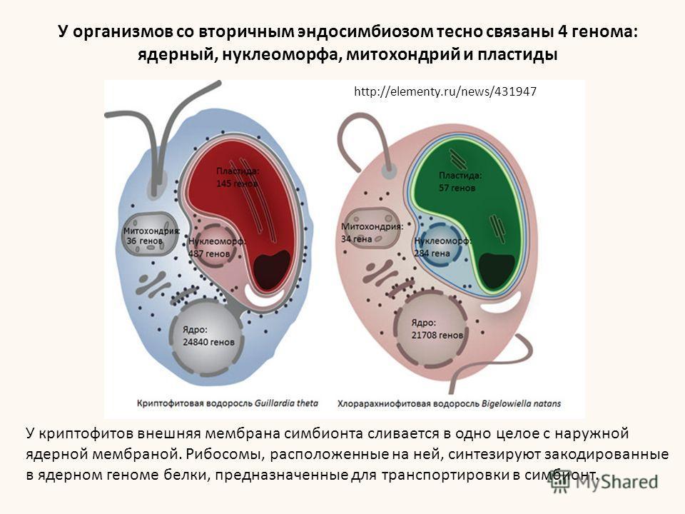 У криптофитов внешняя мембрана симбионта сливается в одно целое с наружной ядерной мембраной. Рибосомы, расположенные на ней, синтезируют закодированные в ядерном геноме белки, предназначенные для транспортировки в симбионт. http://elementy.ru/news/4