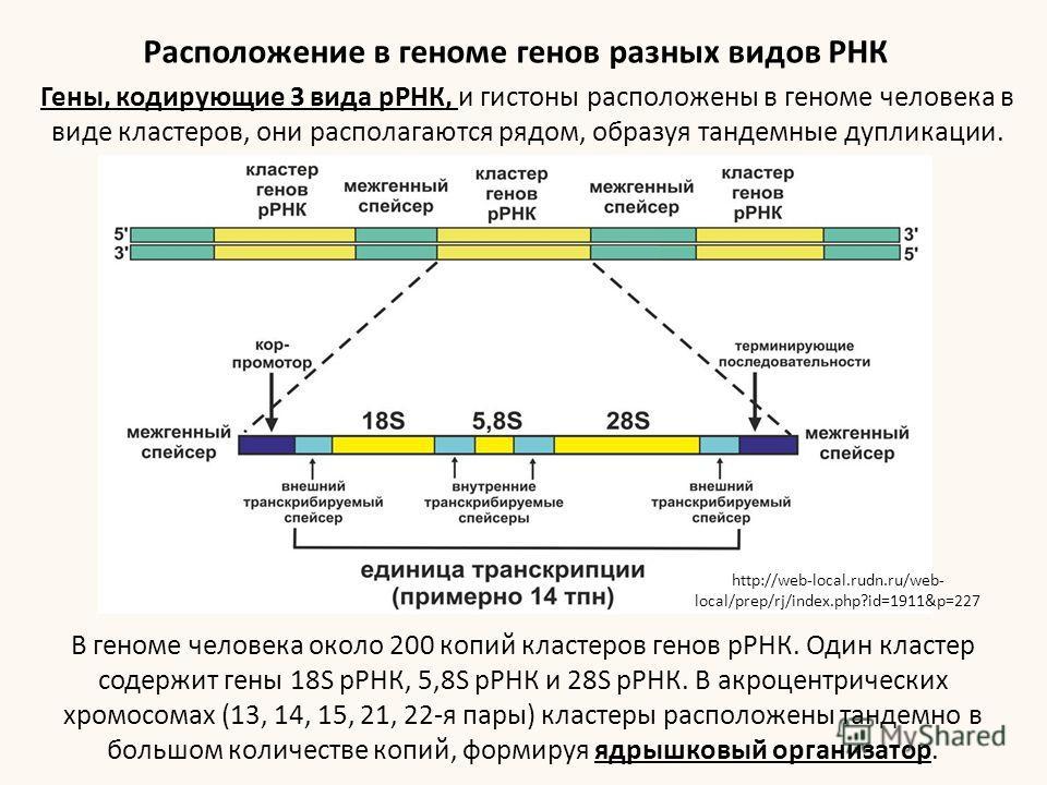 В геноме человека около 200 копий кластеров генов рРНК. Один кластер содержит гены 18S рРНК, 5,8S рРНК и 28S рРНК. В акроцентрических хромосомах (13, 14, 15, 21, 22-я пары) кластеры расположены тандемной в большом количестве копий, формируя ядрышковы