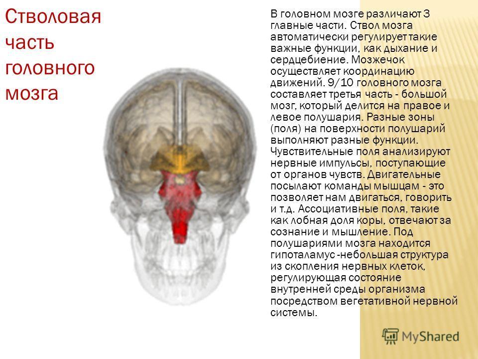 Стволовая часть головного мозга В головном мозге различают 3 главные части. Ствол мозга автоматически регулирует такие важные функции, как дыхание и сердцебиение. Мозжечок осуществляет координацию движений. 9/10 головного мозга составляет третья част