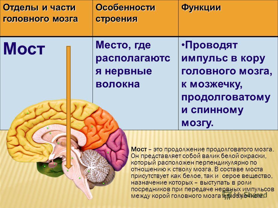 Отделы и части головного мозга Особенности строения Функции Мост Место, где располагаютс я нервные волокна Проводят импульс в кору головного мозга, к мозжечку, продолговатому и спинному мозгу. Мост – это продолжение продолговатого мозга. Он представл