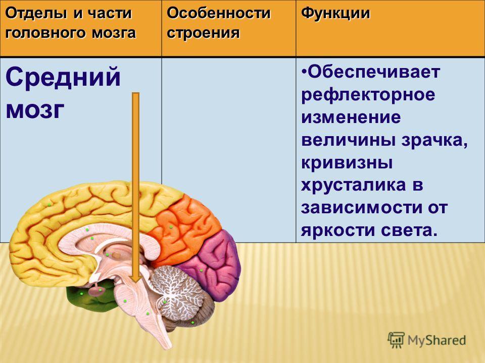 Отделы и части головного мозга Особенности строения Функции Средний мозг Обеспечивает рефлекторное изменение величины зрачка, кривизны хрусталика в зависимости от яркости света.