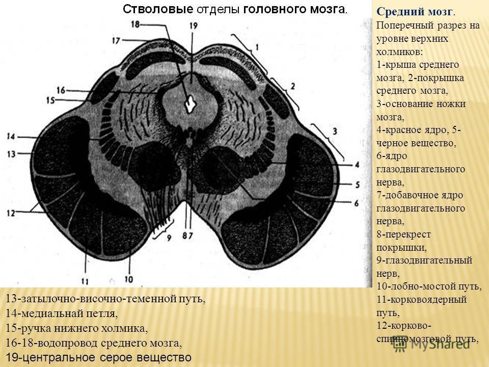 Средний мозг. Поперечный разрез на уровне верхних холмиков: 1-крыша среднего мозга, 2-покрышка среднего мозга, 3-основание ножки мозга, 4-красное ядро, 5- черное вещество, 6-ядро глазодвигательного нерва, 7-добавочное ядро глазодвигательного нерва, 8