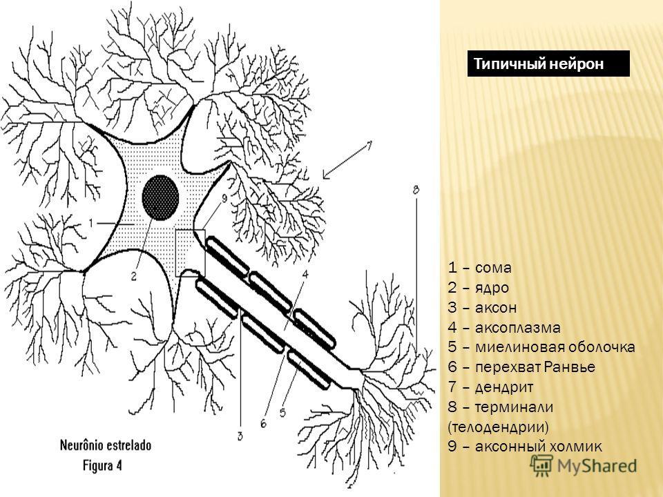 1 – сома 2 – ядро 3 – аксон 4 – аксоплазма 5 – миелиновая оболочка 6 – перехват Ранвье 7 – дендрит 8 – терминали (телодендрии) 9 – аксонный холмик Типичный нейрон