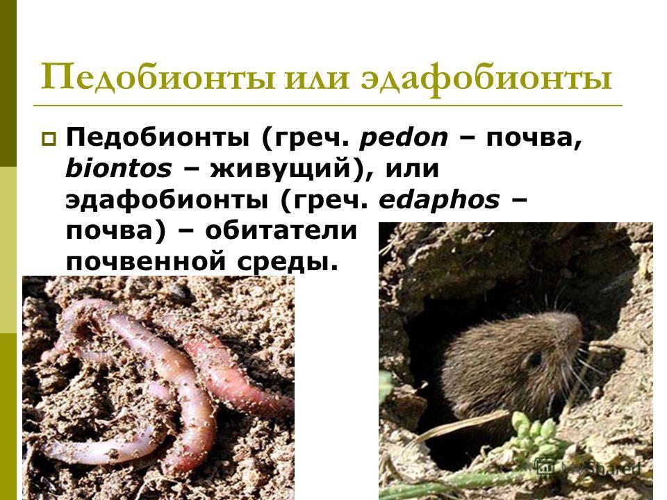 Педобионты или эдафобионты Педобионты (греч. pedon – почва, biontos – живущий), или эдафобионты (греч. edaphos – почва) – обитатели почвенной среды.