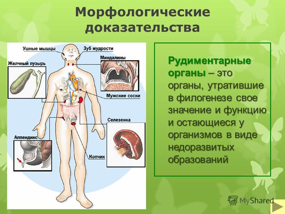 Морфологические доказательства Рудиментарные органы – это органы, утратившие в филогенезе свое значение и функцию и остающиеся у организмов в виде недоразвитых образований