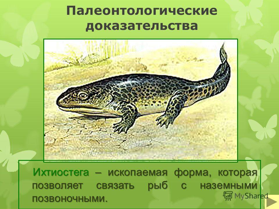 Палеонтологические доказательства Ихтиостега – ископаемая форма, которая позволяет связать рыб с наземными позвоночными.
