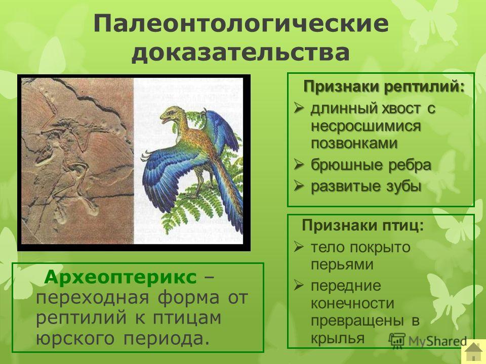 Палеонтологические доказательства Археоптерикс – переходная форма от рептилий к птицам юрского периода. Признаки рептилий: длинный хвост с несросшимися позвонками длинный хвост с несросшимися позвонками брюшные ребра брюшные ребра развитые зубы разви