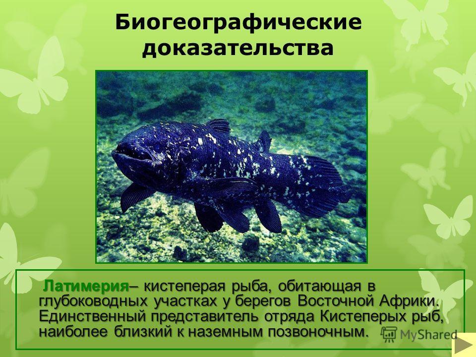 Биогеографические доказательства Латимерия– кистеперая рыба, обитающая в глубоководных участках у берегов Восточной Африки. Единственный представитель отряда Кистеперых рыб, наиболее близкий к наземным позвоночным.
