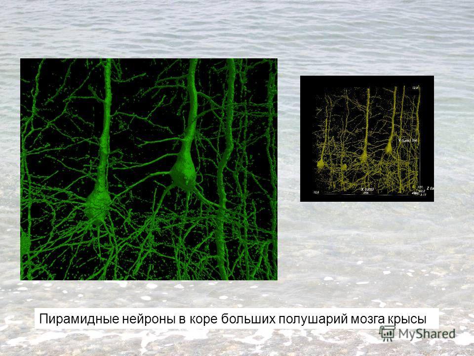 Пирамидные нейроны в коре больших полушарий мозга крысы