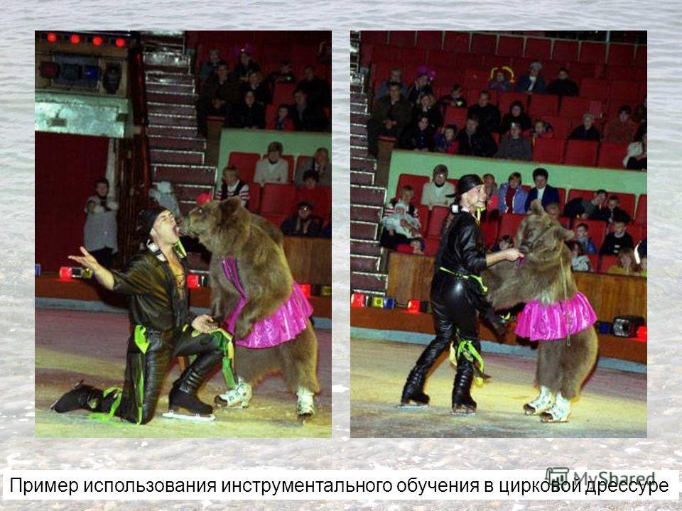 Пример использования инструментального обучения в цирковой дрессуре