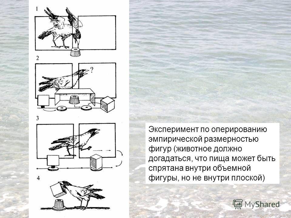 Эксперимент по оперированию эмпирической размерностью фигур (животное должно догадаться, что пища может быть спрятана внутри объемной фигуры, но не внутри плоской)