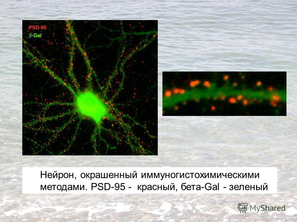 Нейрон, окрашенный иммуногистохимическими методами. PSD-95 - красный, бета-Gal - зеленый