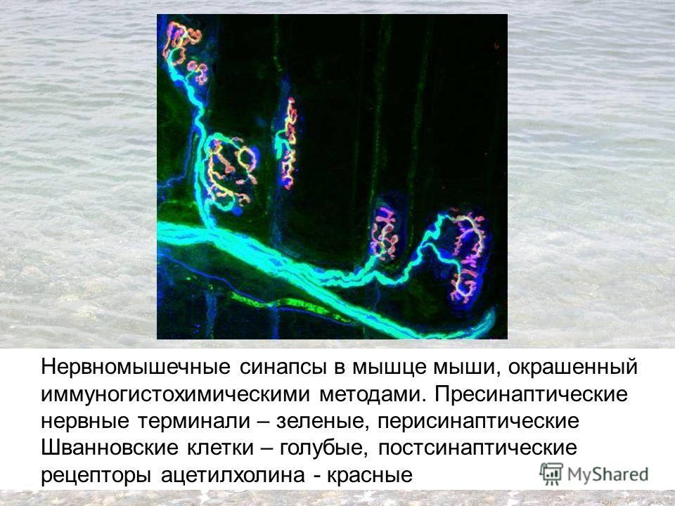 Нервномышечные синапсы в мышце мыши, окрашенный иммуногистохимическими методами. Пресинаптические нервные терминали – зеленые, перисинаптические Шванновские клетки – голубые, постсинаптические рецепторы ацетилхолина - красные