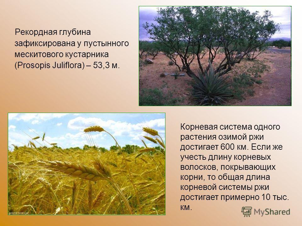 Рекордная глубина зафиксирована у пустынного мескитового кустарника (Prosopis Juliflora) – 53,3 м. Корневая система одного растения озимой ржи достигает 600 км. Если же учесть длину корневых волосков, покрывающих корни, то общая длина корневой систем